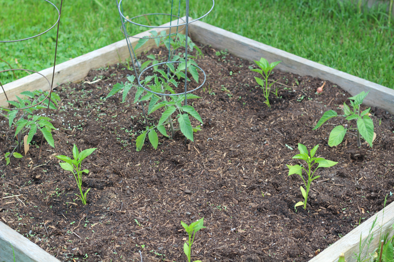 Week 1: Building & Planting the Vegetable Garden #vegetablegarden