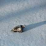 Wordless Wednesday: A Lone Turtle Hatchling
